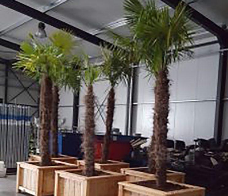 Palmbomen 3 meter hoog huren
